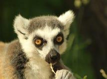 Ritratto di un cibo di catta delle lemure delle lemure catta Immagini Stock Libere da Diritti