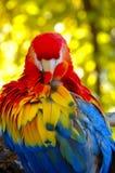 Ritratto di un color scarlatto dell'ara Fotografia Stock