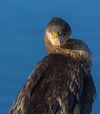 Ritratto di un cormorano Fotografia Stock Libera da Diritti