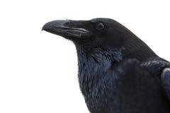 Ritratto di un corvo nero Immagini Stock Libere da Diritti