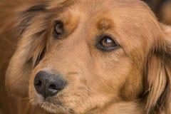 Ritratto di un cucciolo della miscela di Daschund Fotografia Stock