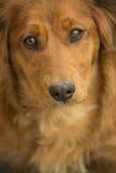 Ritratto di un cucciolo della miscela di Daschund Fotografia Stock Libera da Diritti