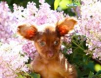 Ritratto di un cucciolo rosso sveglio su un fondo dei lillà sboccianti Fotografie Stock