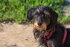 Ritratto di un dachshound Immagine Stock