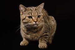 Ritratto di un diritto scozzese del gatto Fotografia Stock