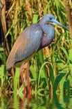 Ritratto di un'egretta di Tricolored fotografie stock