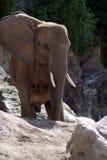 Ritratto di un elefante africano Immagini Stock Libere da Diritti