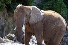 Ritratto di un elefante africano Fotografia Stock