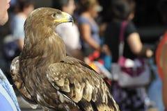 Ritratto di un falco Fotografia Stock Libera da Diritti