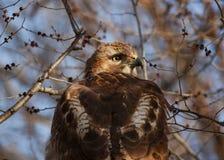 Ritratto di un falco Fotografie Stock