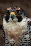 Ritratto di un falco pellegrino Fotografia Stock