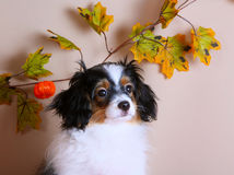 Ritratto di un falen sui precedenti delle foglie di autunno Immagine Stock Libera da Diritti