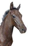 Ritratto di un foal Fotografia Stock