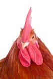 Ritratto di un gallo immagini stock