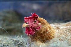 Ritratto di un gallo arancio sembrante arrabbiato con un pettine di rossi carmini, una cresta che si trova in un nido della pagli fotografie stock libere da diritti