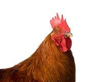 Ritratto di un gallo isolato su fondo bianco Fotografia Stock
