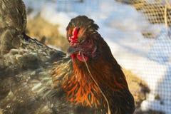 Ritratto di un gallo nero all'aperto fotografia stock libera da diritti