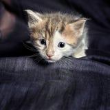 Ritratto di un gattino con un'espressione ansiosa Fotografie Stock Libere da Diritti