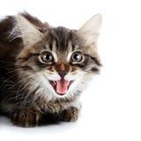 Ritratto di un gattino di sibilo lanuginoso a strisce immagine stock libera da diritti
