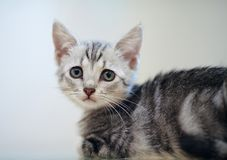 Ritratto di un gattino a strisce grigio Fotografia Stock Libera da Diritti