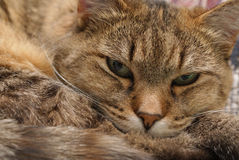 Ritratto di un gatto Immagini Stock