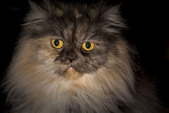 Ritratto di un gatto Fotografie Stock