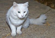 Ritratto di un gatto bianco con gli occhi verdi fotografia stock libera da diritti