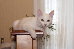 Ritratto di un gatto bianco maschio di 1 anni Fotografia Stock Libera da Diritti