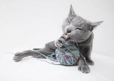 Ritratto di un gatto blu russo Fotografia Stock Libera da Diritti