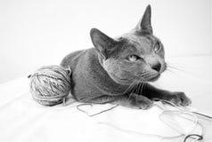 Ritratto di un gatto blu russo Immagini Stock Libere da Diritti