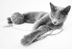 Ritratto di un gatto blu russo Immagine Stock