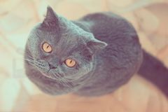 Ritratto di un gatto britannico blu con il grande primo piano degli occhi fotografie stock
