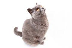Ritratto di un gatto britannico grigio fotografia stock libera da diritti