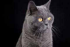Ritratto di un gatto britannico grigio dello shorthair Immagini Stock Libere da Diritti