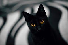 Ritratto di un gatto dall'occhio giallo nero Fotografia Stock