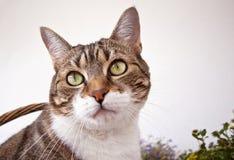 Ritratto di un gatto di casa comune dell'europeo Fotografie Stock Libere da Diritti