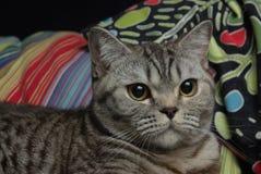 Ritratto di un gatto di soriano Immagine Stock Libera da Diritti