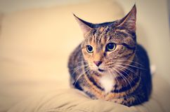 Ritratto di un gatto di soriano Fotografia Stock Libera da Diritti