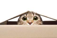 Ritratto di un gatto divertente che guarda dalla scatola fotografia stock libera da diritti