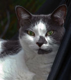 Ritratto di un gatto domestico Fotografia Stock