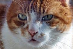 Ritratto di un gatto europeo Fotografia Stock