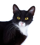 Ritratto di un gatto in bianco e nero con gli occhi gialli. Fotografia Stock