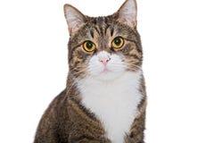 Ritratto di un gatto grigio serio fotografia stock libera da diritti