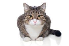 Ritratto di un gatto grigio serio immagine stock libera da diritti