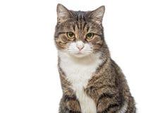 Ritratto di un gatto grigio serio fotografia stock