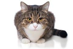 Ritratto di un gatto grigio serio immagini stock libere da diritti
