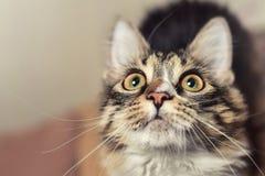 Ritratto di un gatto molto sorpreso, che vuole mangiare fotografie stock libere da diritti