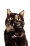 Ritratto di un gatto multi-colorato fotografia stock libera da diritti