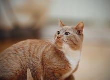 Ritratto di un gatto rosso spaventato a strisce Immagine Stock Libera da Diritti