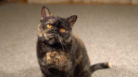 Ritratto di un gatto scozzese della razza stock footage